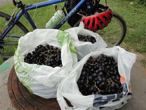 mustang grape wine mustang grape wine