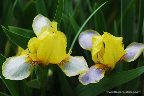 images flowers iris flower gardens