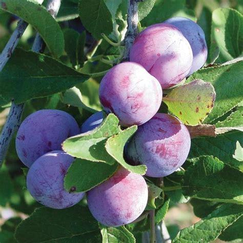 damson fruit trees damson plum plum trees stark bro s