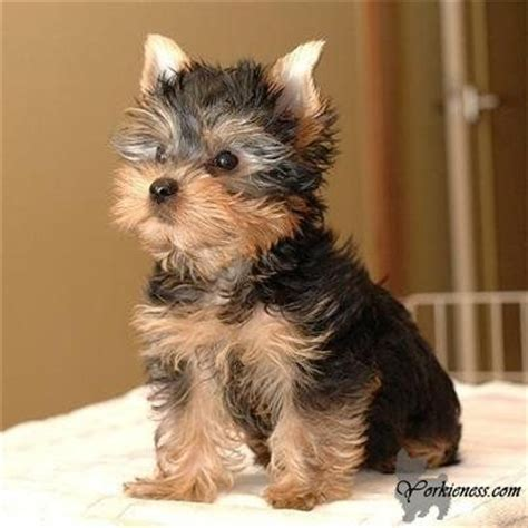 yorkie poo size and weight approximate weight of a grown yorkie terriers are a small some