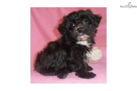 yorkie puppies for sale in akron ohio yorkie poo puppies for sale in ohio dogs for sale yorkiepoo yorkie poo puppy for sale