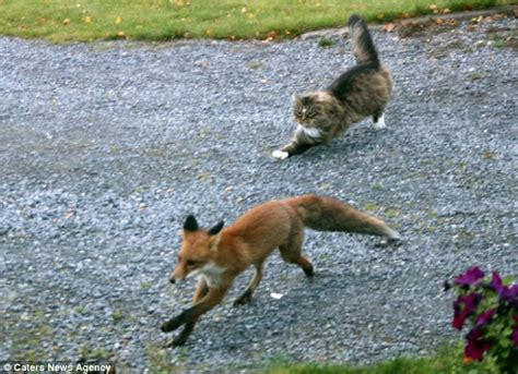 is a fox a or cat outfoxed fearless forest cat turns guard as he chases rival fox his land