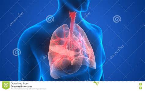 menschlicher körper innere organe menschlicher k 246 rper organe lunge anatomie stock