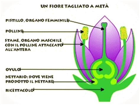 organo maschile fiore biologia appunti parte 3