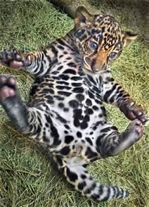 Jaguar Of San Diego Baby Animals Baby Jaguar San Diego Zoo Thingiwant