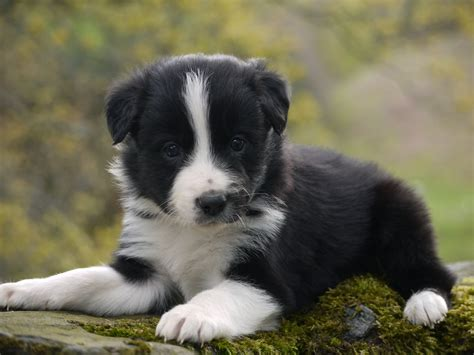 border collie puppies border collie puppies keswick cumbria pets4homes