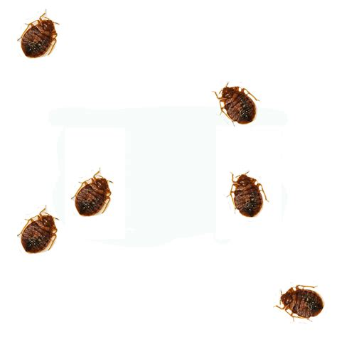 what do bed bugs look like to the human eye what does a bedbug look like www imgkid com the image