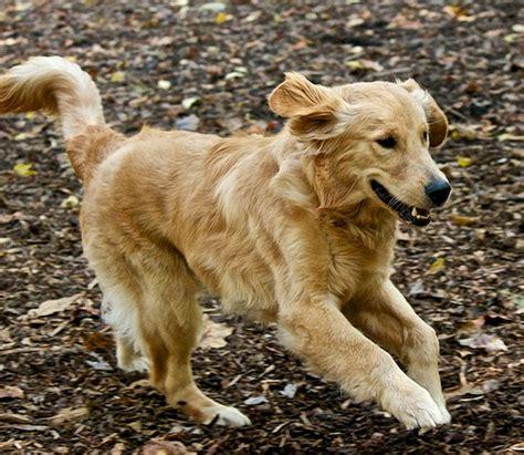 golden retriever puppies running golden retriever puppy running flickr photo