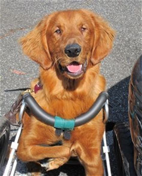 disabled dogs for adoption roo blind and physically disabled is cared for by rescue