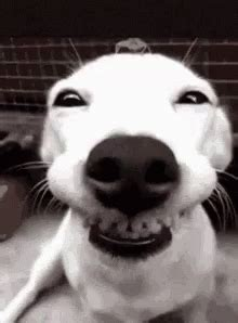Pug Life Meme