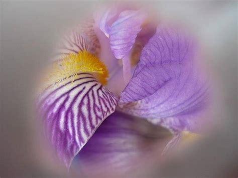 iris linguaggio dei fiori significato iris significato fiori linguaggio dei