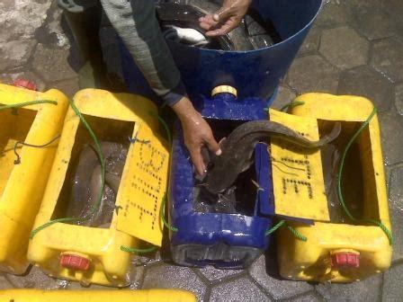 Jual Bibit Ikan Lele Di Kota Medan bibit lele sangkuriang masamo dan phyton murah