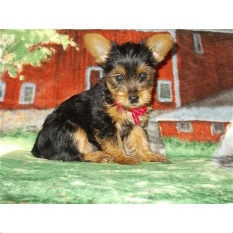 yorkie puppies for sale in arizona view ad terrier puppy for sale arizona tucson usa