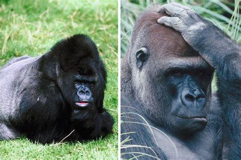 gorilla_species | Gorilla Facts and Information
