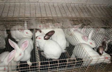 gabbia conigli allevamento allevamento conigli ue potrebbe abolire le gabbie