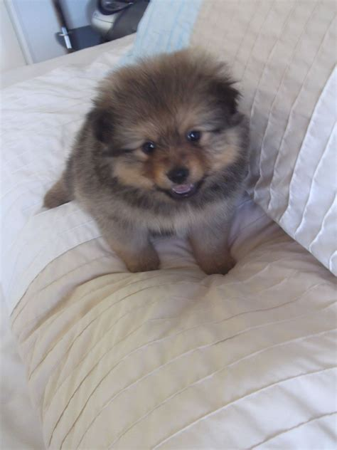tiny pomeranian for sale tiny pomeranian puppys for sale rochford essex pets4homes