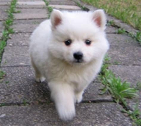 imagenes perros japoneses japanese spitz spitz japones razas de perros en mexico