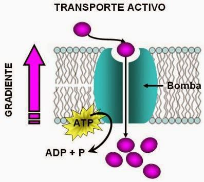 imagenes que se mueven de luto activo movimiento de sustancias a trav 201 s de la membrana celular