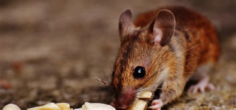 how to get rid of mice in kitchen cabinets mice in the kitchen what