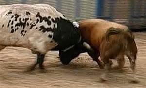 imagenes de toros el cabestro pone firmes al toro bravo vaya tela hace