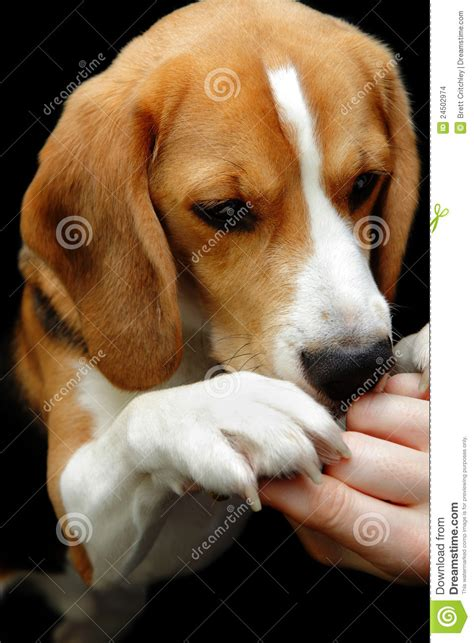 dog only eats from hand beagle dog sniffing hand reward stock photo image 24502974
