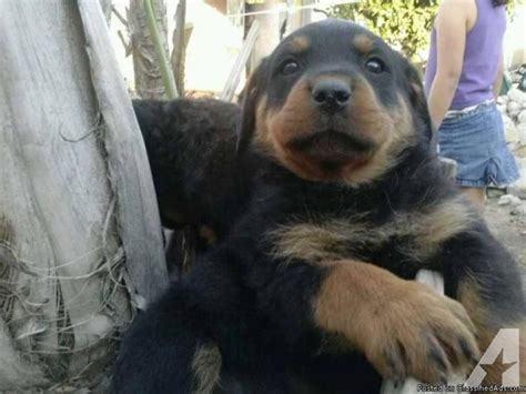 rottweiler puppies california rottweiler puppies for sale in rialto california classified americanlisted