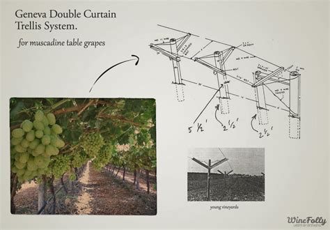 Grape Trellis Systems table grapes vs wine grapes wine folly