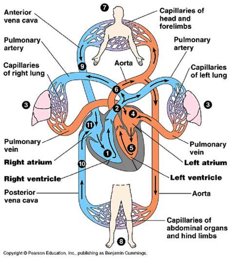 unit  nutrition ii respiratory excretory  circulatory systems aula virtual severo ochoa