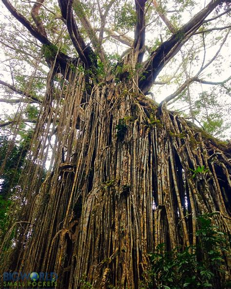 curtain fig tree 3 days in the atherton tablelands the perfect self drive