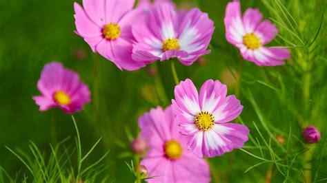 wallpaper cosmos flowers pink cosmos beautiful