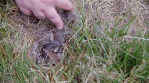 what to do with baby bunnies in backyard i found wild baby bunnies in my backyard youtube