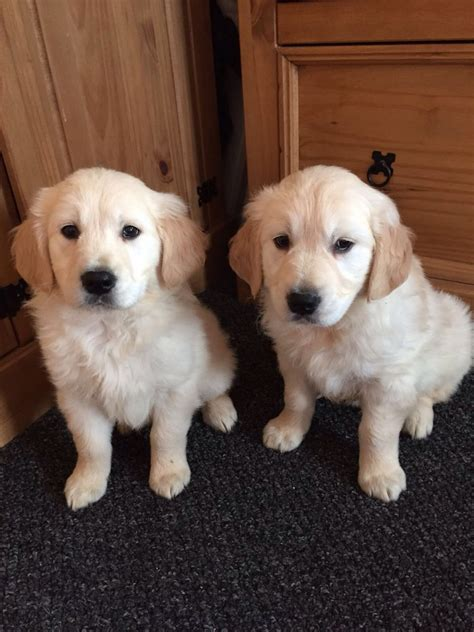 golden labrador retriever puppies for sale only 1labrador x golden retriever puppies for sale norwich norfolk pets4homes