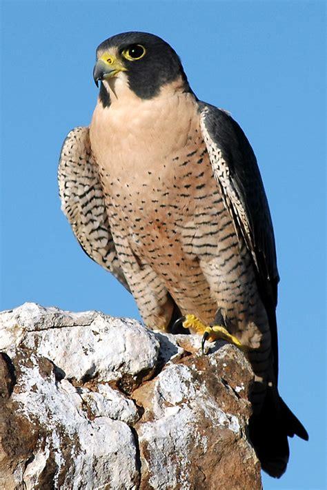 Falcons Pictures صور صقور رائعه وجميلة أحلى صور للصقور أجمل أنواع الصقور