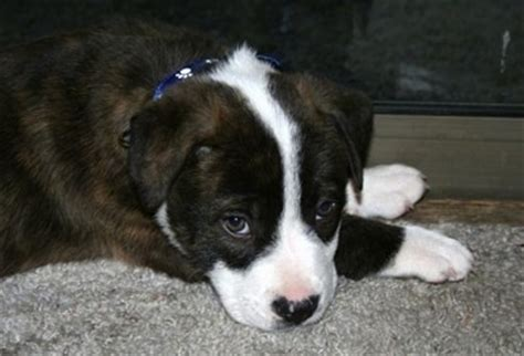 pitbull border collie mix puppy mixed breed pictures with bios 38