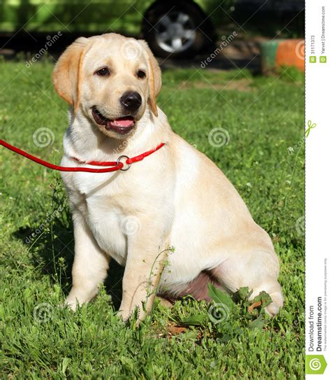 green labrador puppy yellow labrador puppy on the green grass stock photos image 31171373