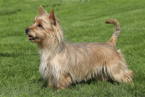 y i c s book of terrier care books breeds alphabetical directory breeds net