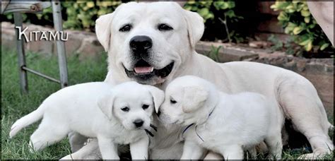 white lab puppies for sale white labrador retriever puppies for sale family raised 187 myawesomelabs