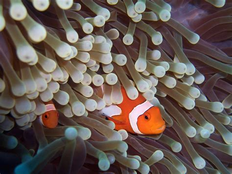 anemone eat clownfish intricate relationship allows the other to flourish sea