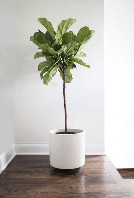 inside plants how to grow fiddle leaf fig and care to grow plants and