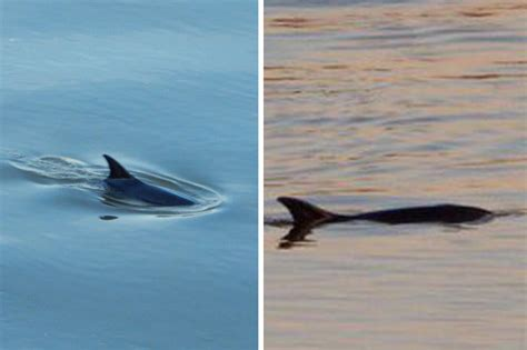 thames river dolphin dolphin spotted swimming in river thames stuns locals in
