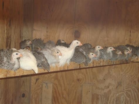 Backyard Chickens Guineas Guinea Fowl Pictures To Pin On Tattooskid