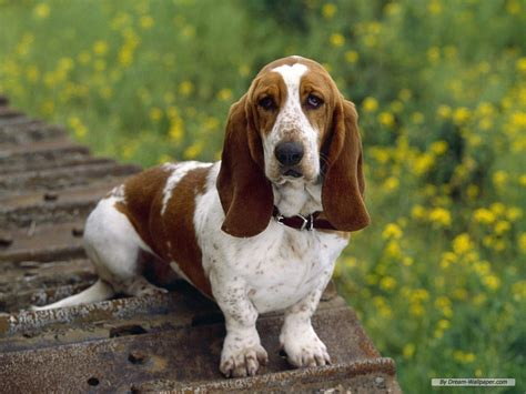 pictures of hound dogs hound dogs images bassett hound hd wallpaper and background photos 15363499