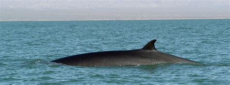 World S Whale Retailer Ends All Whale - fin whale species wwf