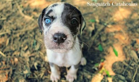 Patchwork Catahoula - 129 best images about my is a catahoula on