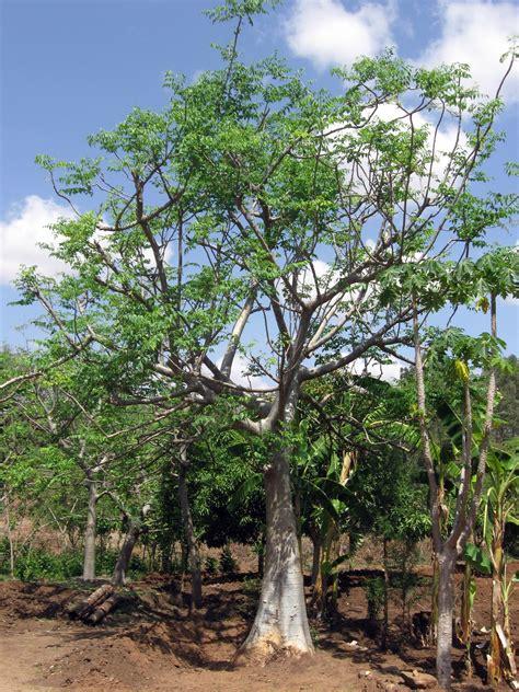 Teh Moringa moringa stenopetala images useful tropical plants