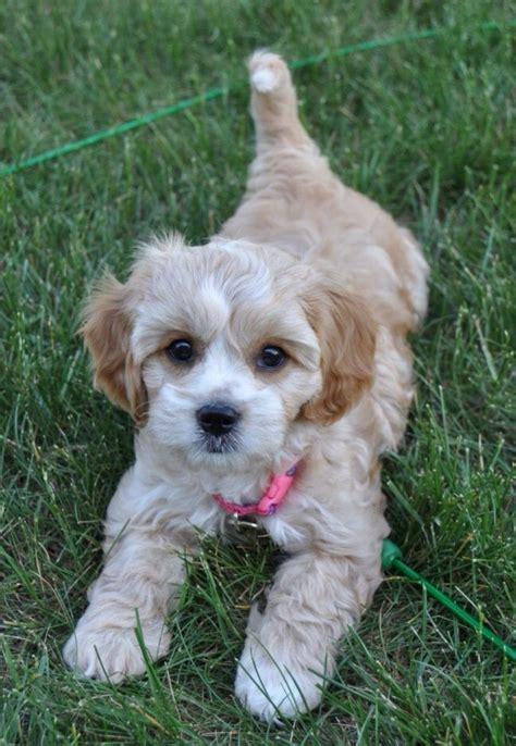 cavachon puppy cut 122 best images about cavachons on pinterest spaniels