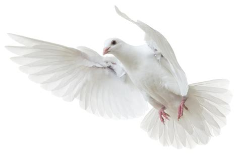 this is the story of why the dove is a symbol of peace and