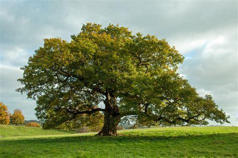tree l oak tree identification