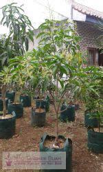 Bibit Kelapa Hibrida Semarang rahasia tabulot mangga yuwen info tanaman buah