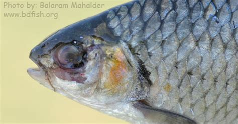 photofeature eus disease affected fishes  haor area bdfish feature